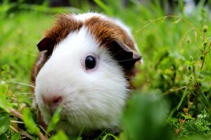 Guinea Pig in a beautiful patch of grass by Puppers1