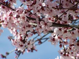 Tree Blossoms by theNanna