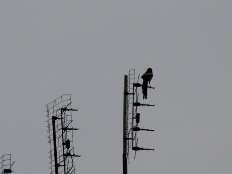magpie on the antenna by indeed-stock