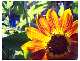Sunflower Sunbathing by DayDreamsPhotography