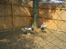 Crowned Cranes by ToshirotheKnightWolf