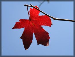 Maple leaf 20D0040688 by Cristian-M