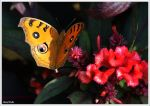 Butterfly on a flower of Nepal by KlaraDrielle