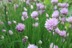 Chives by KayDensPhotography
