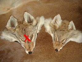 Coyote face (RIGHT) SOLD by YukiChana