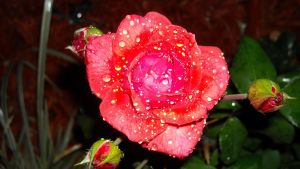 .Glazed Rose 6. by BabyLinux