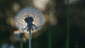 Dandelion at Sunset 2 by wendy-pellerito