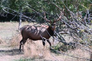 Elk 26 by Ozzyhelter
