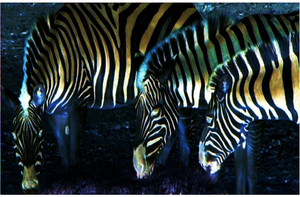 Zebras by KWesterman