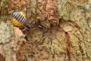Pseudoscorpion with eggs by melvynyeo
