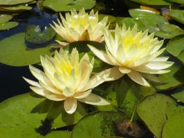 Yellow Water Lilies by ShipperTrish