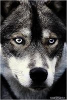 :Look in my Eyes: by WhiteSpiritWolf