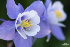 Columbine Closeup by yenom