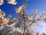 Sky of Blossoms by Angelkissedhorse