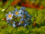 Forget-Me-Not by VBmonkey26