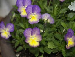 Viola by Irie-Stock