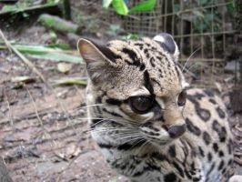 Margay by 0Penny0Lane0