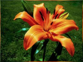 Tempting Tigerlily by Photos-By-Michelle
