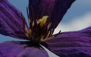 Clematis and the Sky by webcruiser