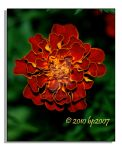 Marigold - 1 by bp2007