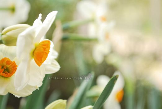 Narcissus by firegold