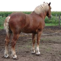 Equine Belgian Horse 07 by FantasyStock