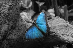Blue Butterfly Colour Splash by MunsenTheBiscuit69
