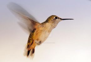 Rufous Hummingbird hovers by houstonryan