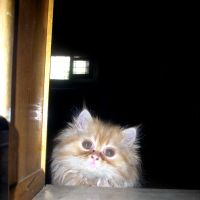 Persian Cat 2 by MiCiA-DeSign