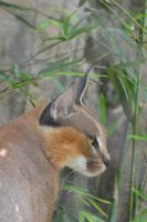 Portrait of caracal for friend Carole Birthday by A1Z2E3R