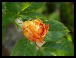 apricot rose by kram666