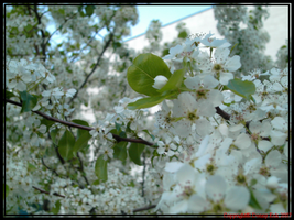 Blossoms by TaoPhotography
