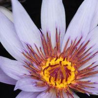 Purple Water Lily by Kirs10c