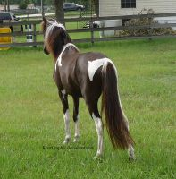 Black Tobiano Modern Shetland Filly 2 by KoerGraphic