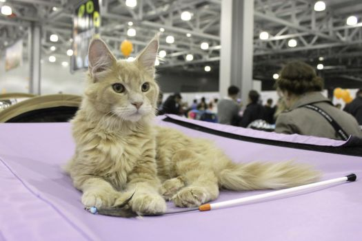 Maine Coon from cat show in Moscow by Koshkinsk
