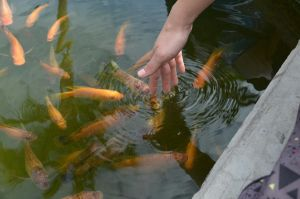 Koi Meet Finger by TaleSmith