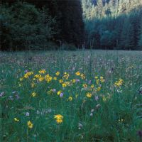 arnica montana in the valley by mescamesh