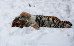 Tiger on the snow 2 by Jagu77