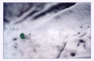 C18 - Wintergreen by fragilemuse-org