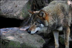 European Wolf 8 by Canisography