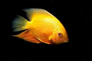 golden severum by szorny-stock