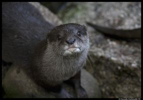 Otter Portrait by TVD-Photography