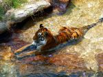 Tiger Relaxing by Devaly