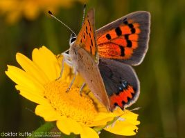 Orange Butterfly by Stefano-Coltelli