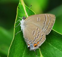 ..Banded Hairstreak.., by duggiehoo