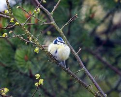 Blue titmouse by duncan-blues