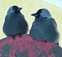 Two Jackdaw by Maresolo