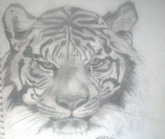 Tiger Sketch by 4lisx