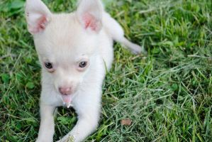 Adoptable Chihuahua Puppy 1 by Strange-1