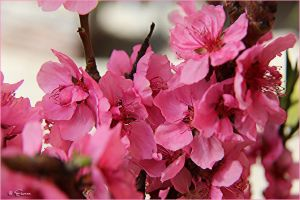 Peach Blossoms by Escara40